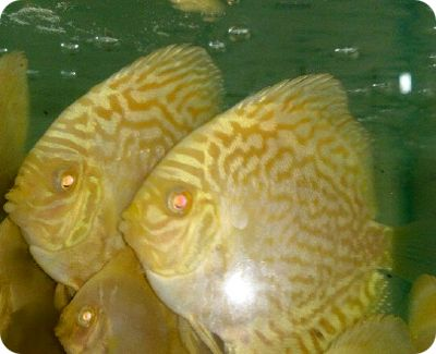 Albino Yellow Dragon Discus Fish - 2-3 inch